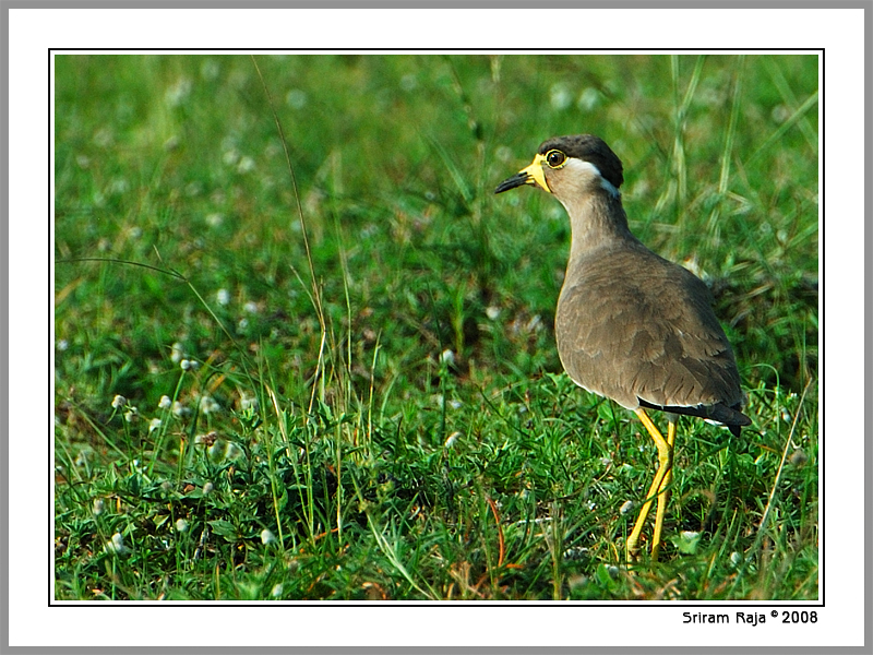 Yellow Wattled Lapwing . Sunder Post processed this picture. Thanks Sunder.