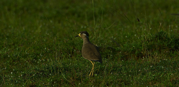 Yellow Wattled Lapwing - Did you do it!! Can you spot the ladybird?