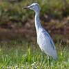 Little Blue Heron (Immature) 6
