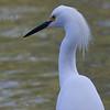Snowy Egret 7