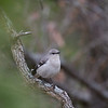 Mockingbird 1