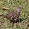 Common Ground Dove 3