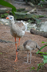 Red-Legged Seriema with Chick