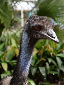 Emu - Lowry Park Zoo