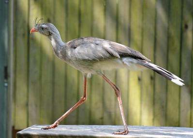 Red Legged Seriema - Lowry Park Zoo