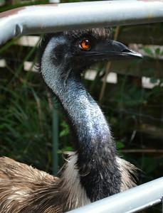 One-Eye - Emu Lowry Park Zoo