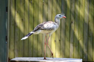 Red-Legged Seriema - Lowry Park Zoo