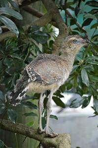 Red-Legged Seriema Chick