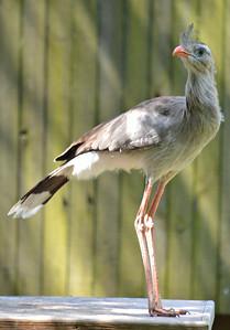 Red-legged Seriema Lowry Park Zoo