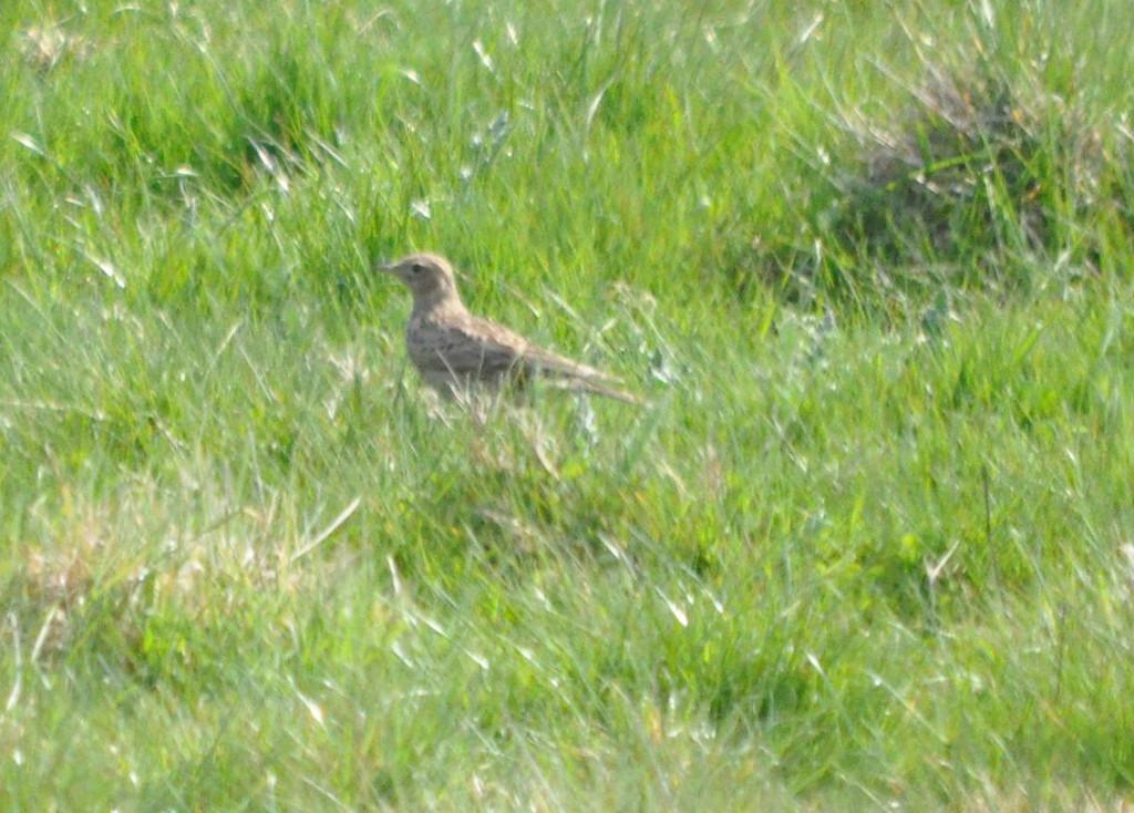 Skylark in field Cley April 2011