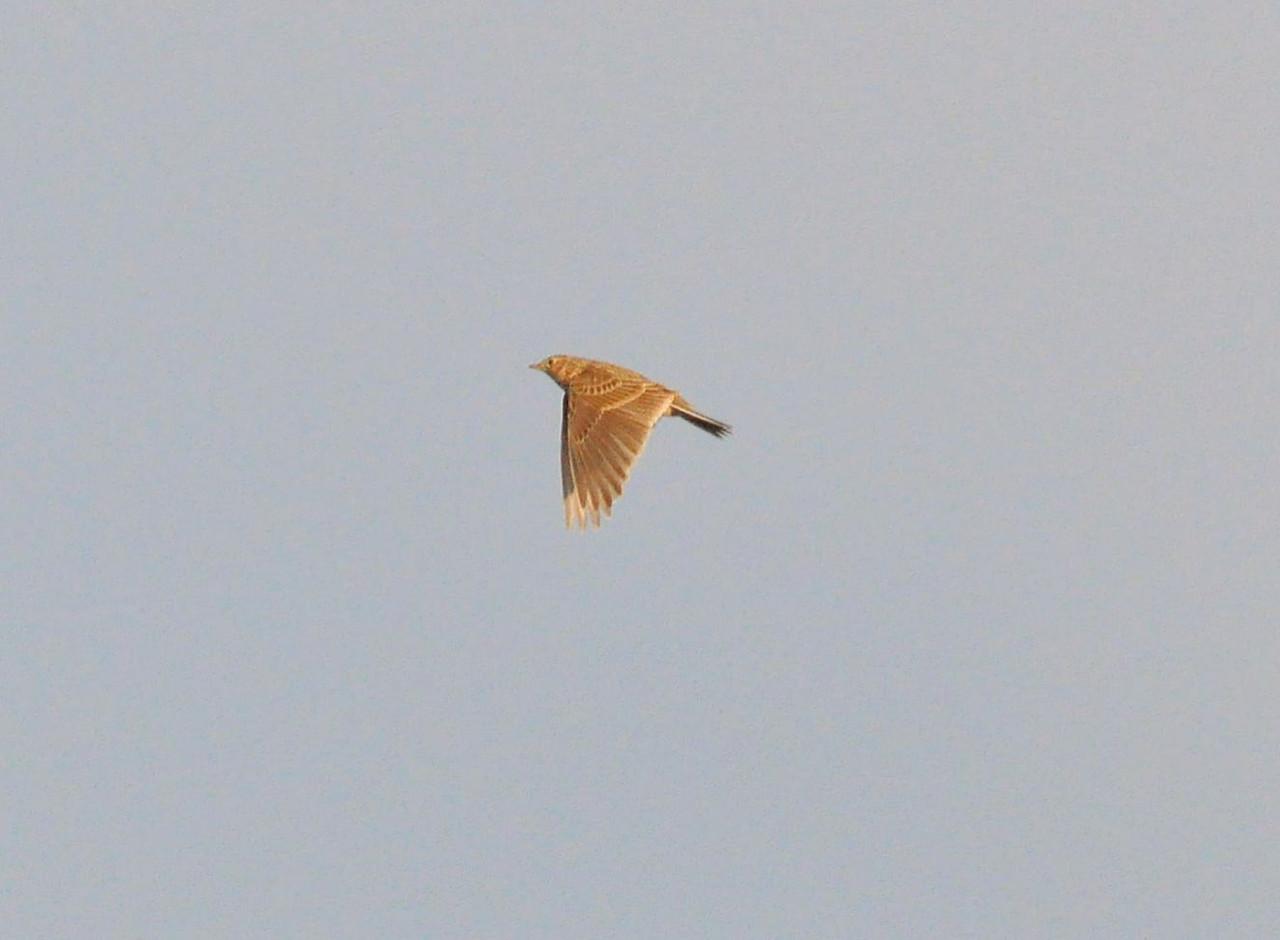 Skylark Pitstone Hill Mar 2012