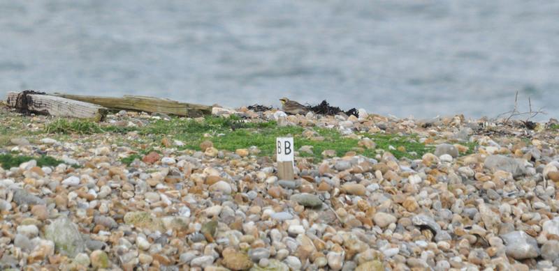 Shorelark Hayling Island Jan 21 2012