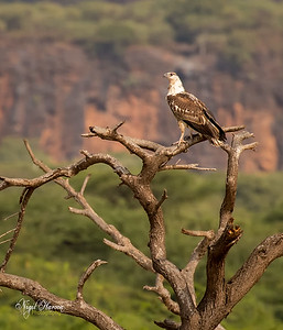 African Fish Eagle, Juvenile