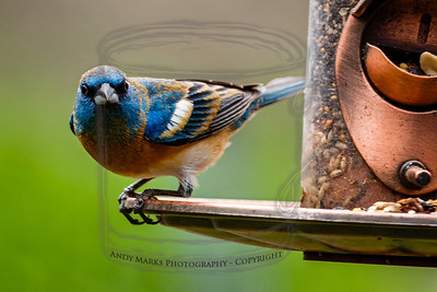Lazuli Bunting, with head/neck fading from bright blue to orange. Skittish, or peevish, or just uncomfortable when shot with a large diameter lens.