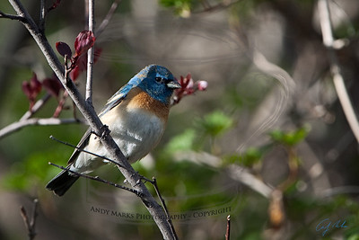 The Lazuli Bunting are back: they come every year about now, eat for a week, and leave.
