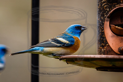 Lazuli Bunting, with head/neck fading from bright blue to orange. More arrive daily.