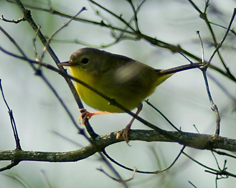 Common Yellowthroat Female  Spring