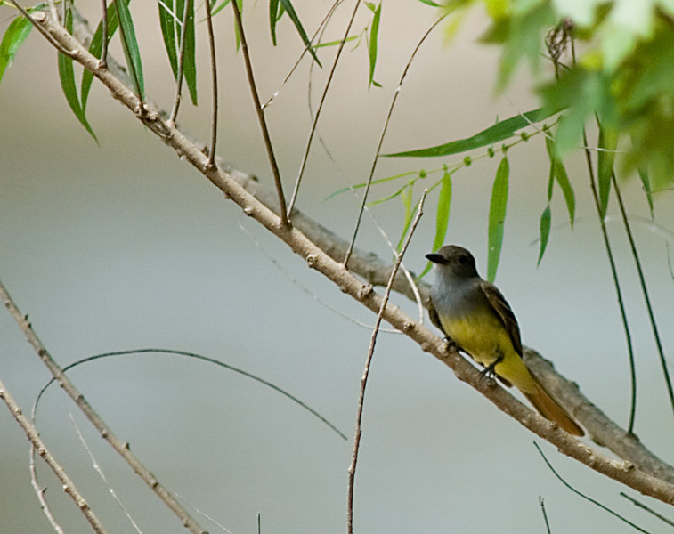Great Flycatcher