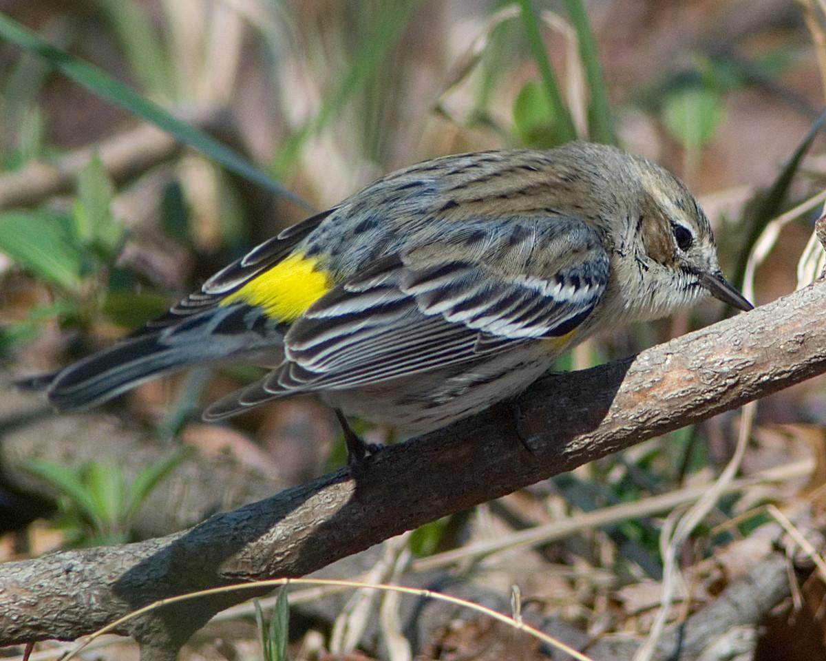 Yellow Rumped Warbler  Huntley Meadows