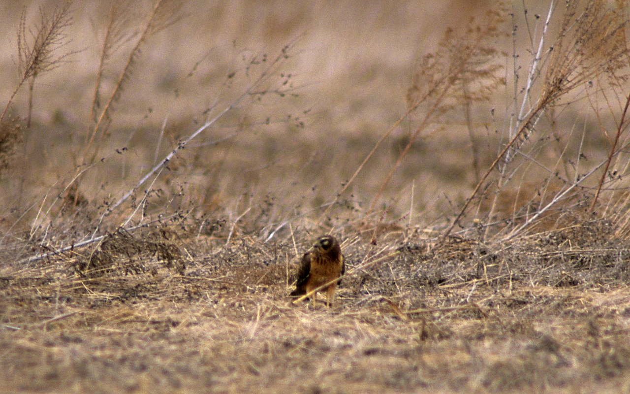 Hungry Hungry Harrier