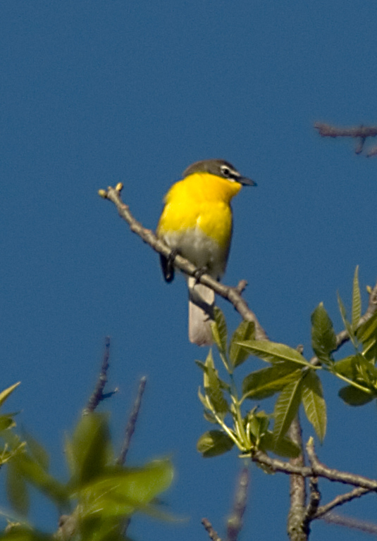 Yellow-breasted Chat  June