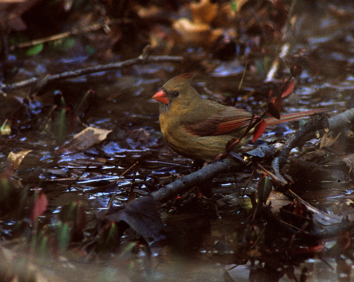 Northern Cardinal.  (-)10 Celsius, but still enough running water in the stream to be appealing for a bath!