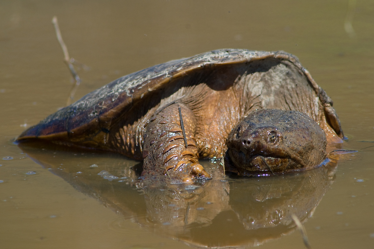 Snapping Turtle  Mating/crushing female under him at Huntley Meadows, Alexandria VA