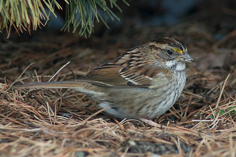 White-throated Sparrow (tan morph)  National Arboretum, February 2010