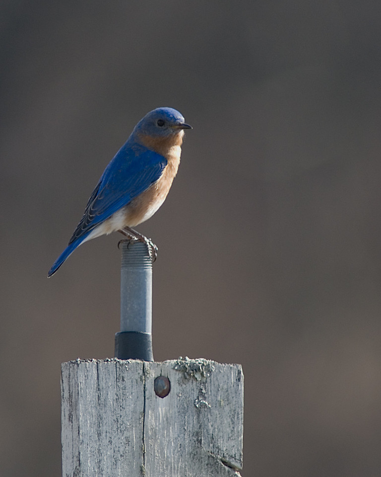 Eastern Bluebird  Protecting the nest box from the intruding Tree Swallow.  Highbanks Metro Park, Columbus, OH