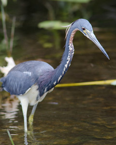 Tricolored Heron  Everglades National Park, Florida