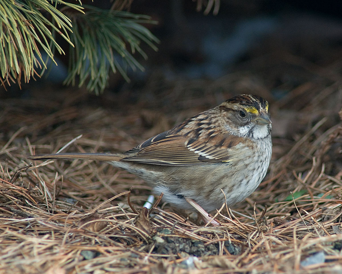White-throated Sparrow (tan morph)<br /> <br /> National Arboretum, February 2010