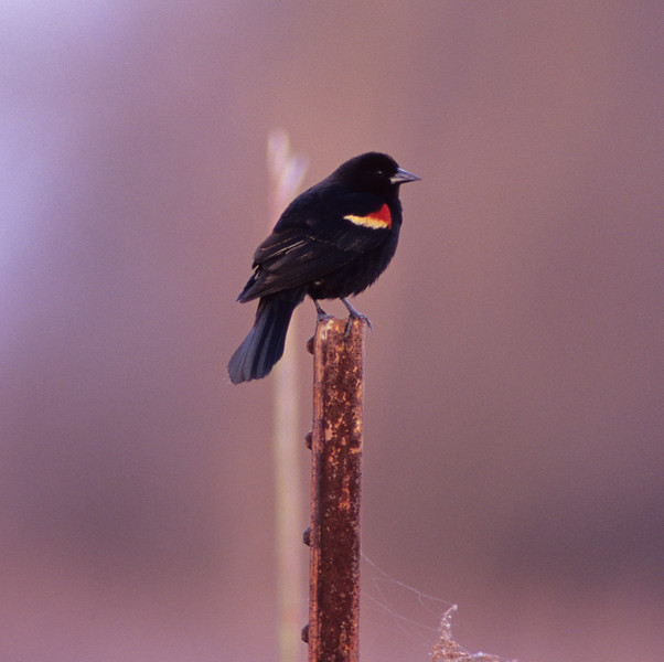 Standing Guard  Red-Winged Blackbird from Shaker Trace Wetlands at Miami Whitewater park in Cincinnati, OH