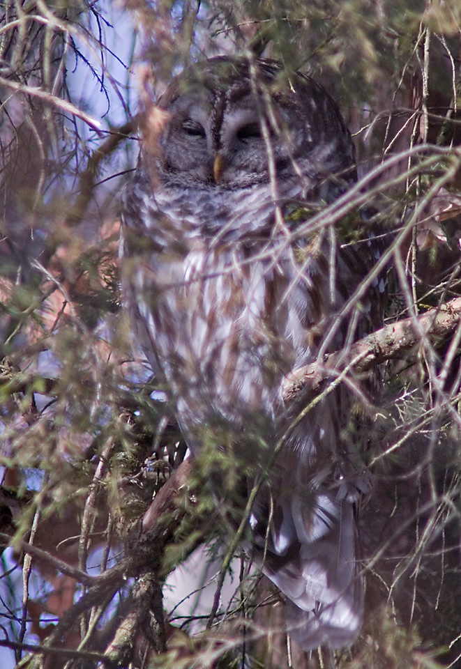 Barred Owl<br /> <br /> Miami Whitewater Forest