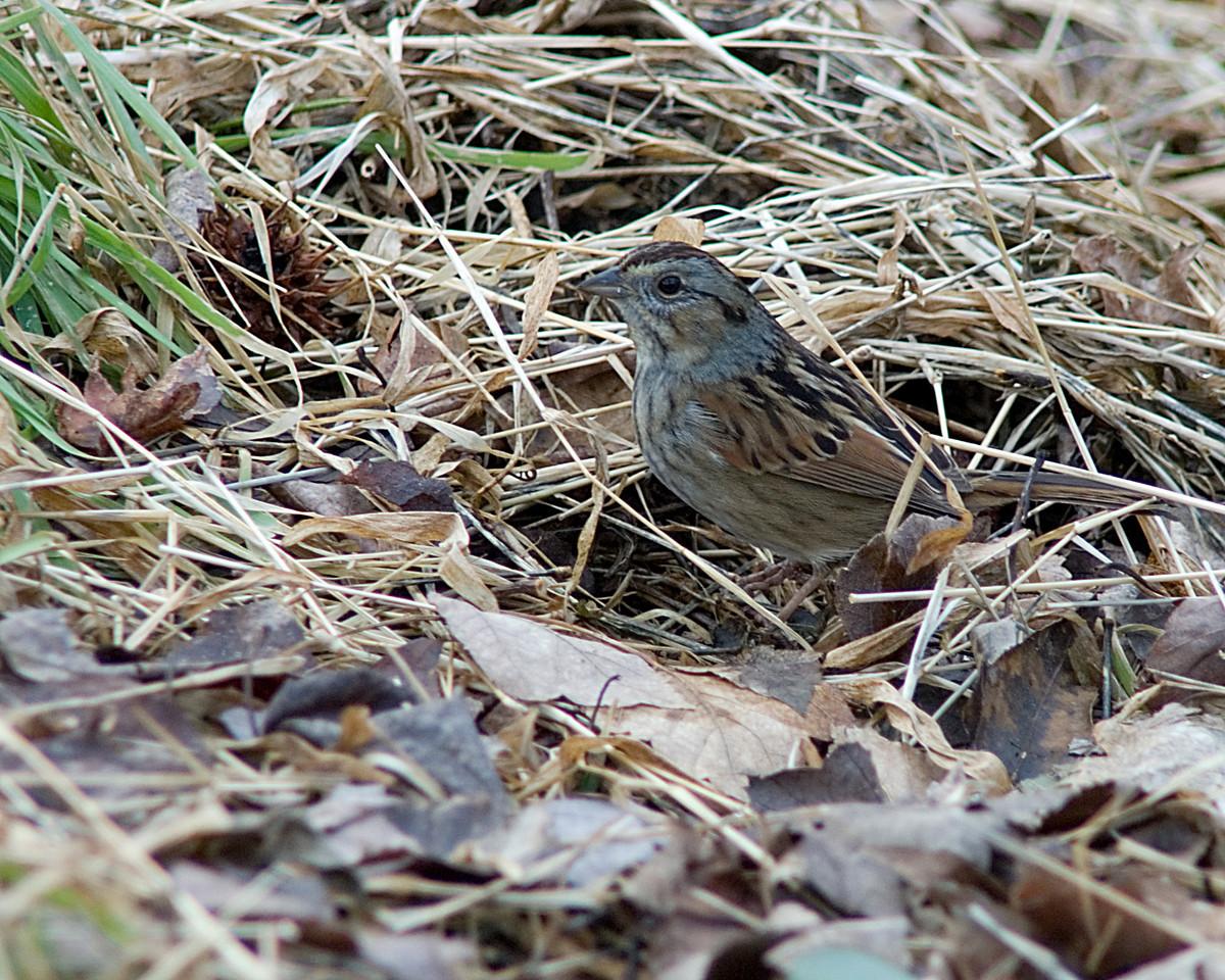 Swamp Sparrow<br /> <br /> Dyke Marsh, Virginia -- January 2010