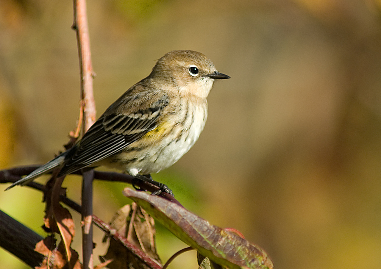 Yellow-rumped Warbler   Farbach-Werner Nature Preserve