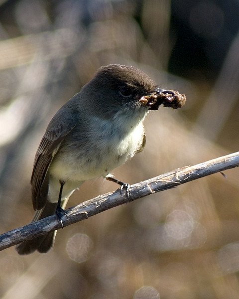 Eastern Phoebe  Working on a nest, both Phoebe's were diligently gathering this morning!