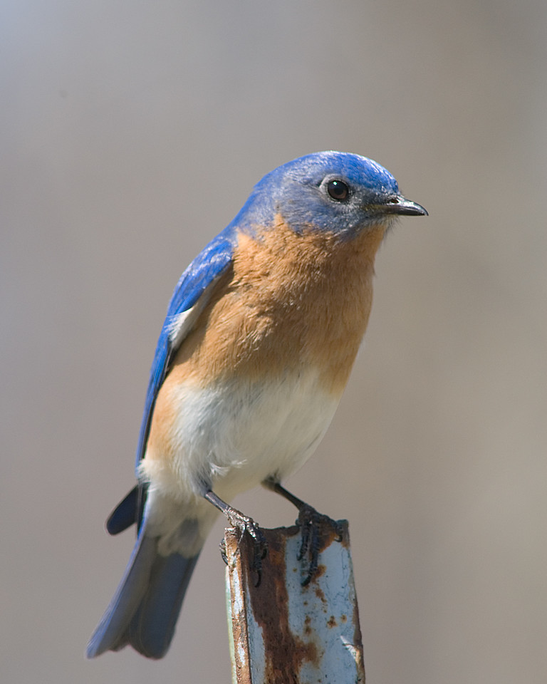 Eastern Bluebird<br /> <br /> Guarding a nestbox in the grassy meadows of Miami Whitewater park in Cincinnati, OH