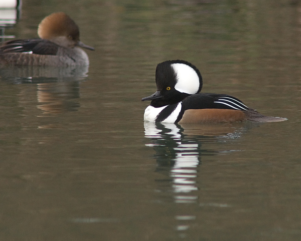 Hooded Merganser<br /> <br /> Strutting his stuff at a local pond in frigid weather!<br /> <br /> Alexandria, VA