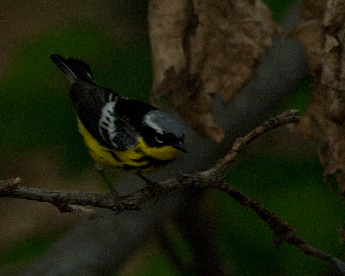 Magnolia Warbler  At dusk -- no light to shoot by, so I grossly underexposed it.  Not bad considering...  Monticello Park in Alexandria VA