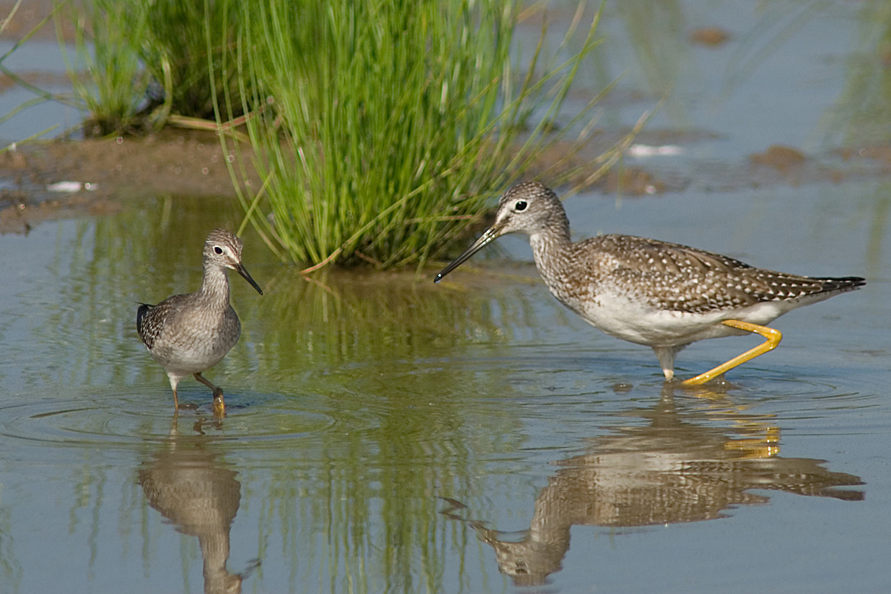 Greater and Lesser Yellowlegs<br /> <br /> Migrating through and feeding together at Huntley Meadows!