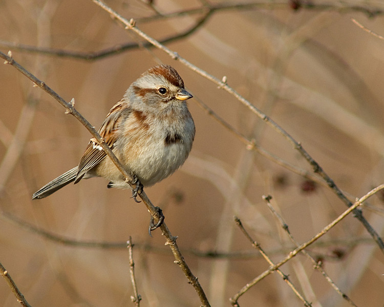 American Tree Sparrow  Otto Armeleder Memorial Park in Cincinnati, OH in the middle of February.