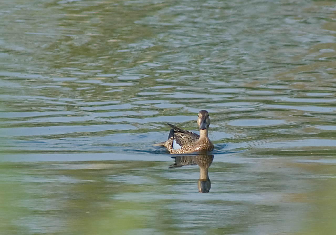 Blue-Winged Teal  Non-breeding plumage (Fall migration)