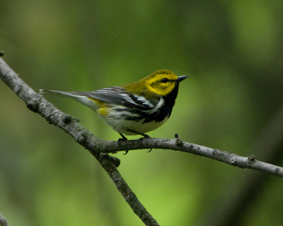 Black-throated Green Warbler<br /> <br /> Monticello Park, Alexandria VA