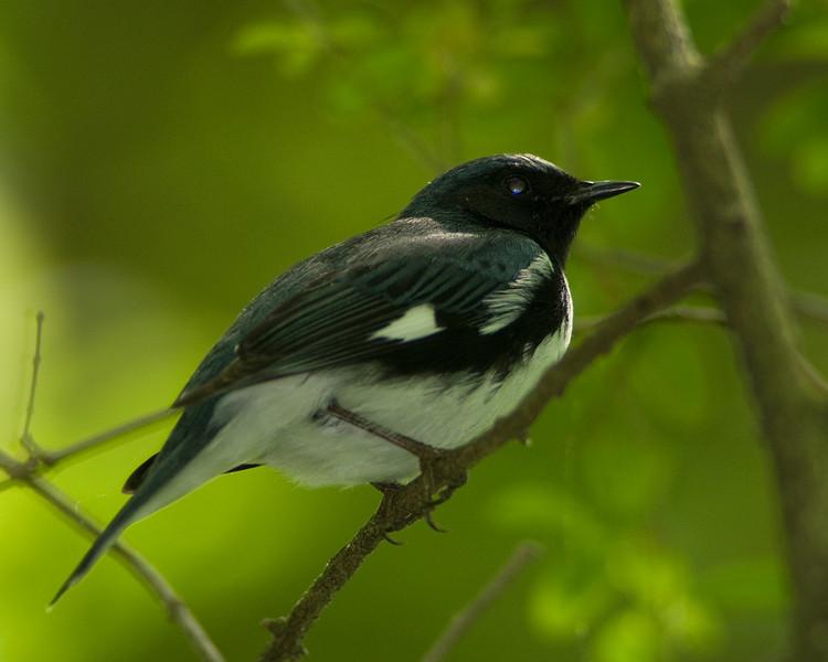 Black-throated Blue Warbler  Monticello Park in Alexandria, VA