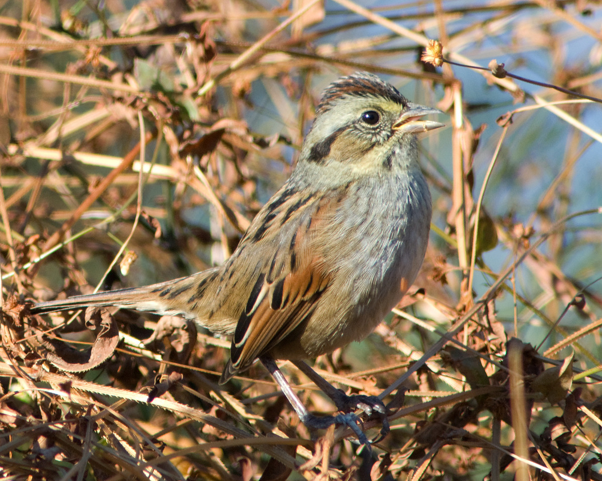 Swamp Sparrow <br /> <br /> Winter threads on at Huntley Meadows -- sun and warmer temps had them singing in November!