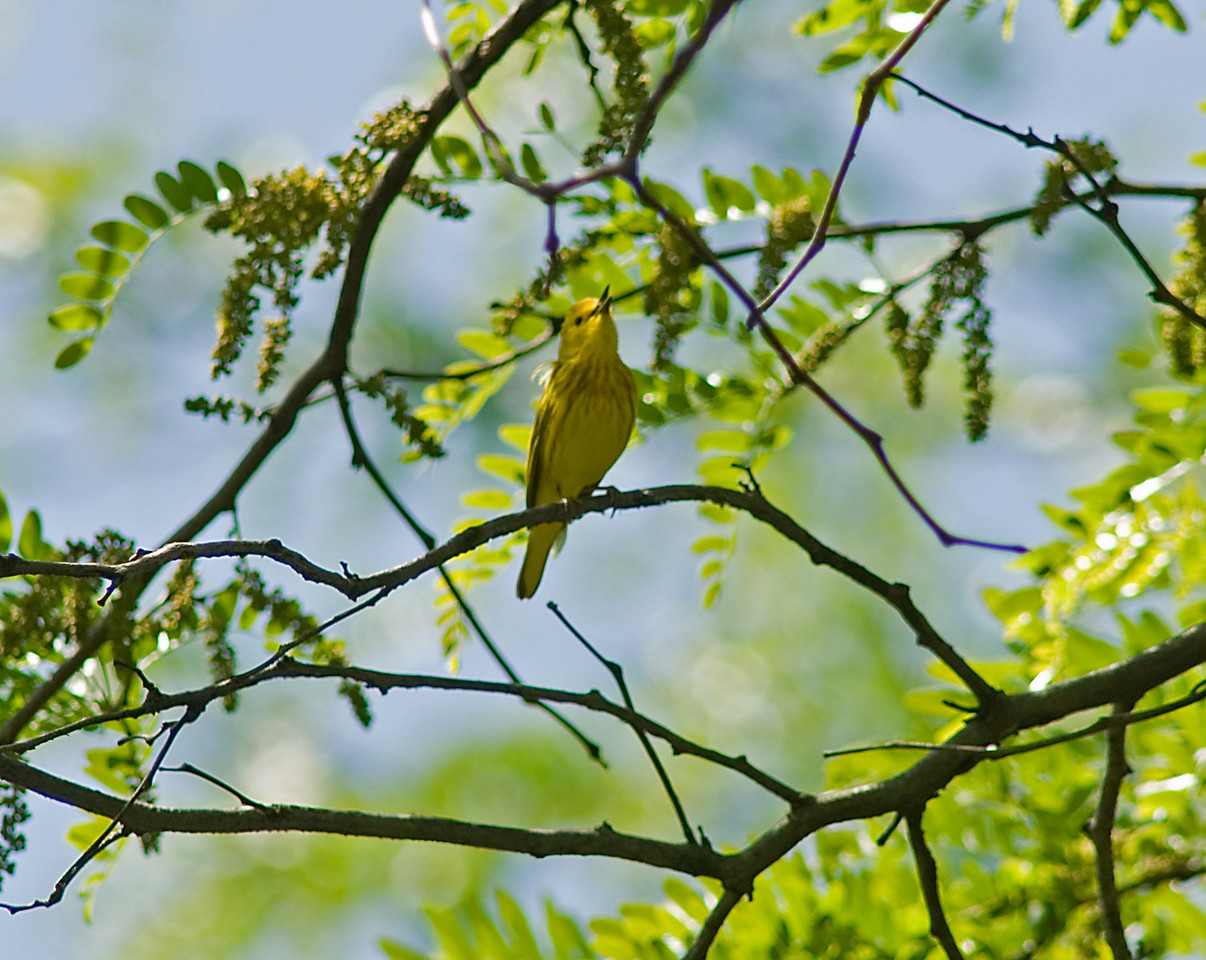 Yellow Warbler  June