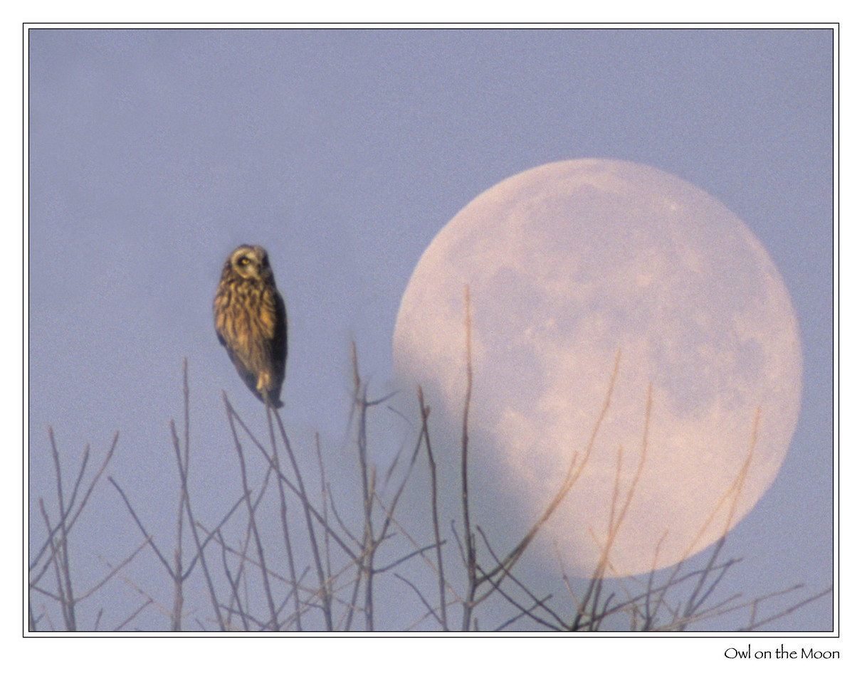 Short-eared Owl<br /> <br /> An accidental double exposure, with half of the frame being a moon rise just hours after my visit to see the visiting Short-eared Owls.
