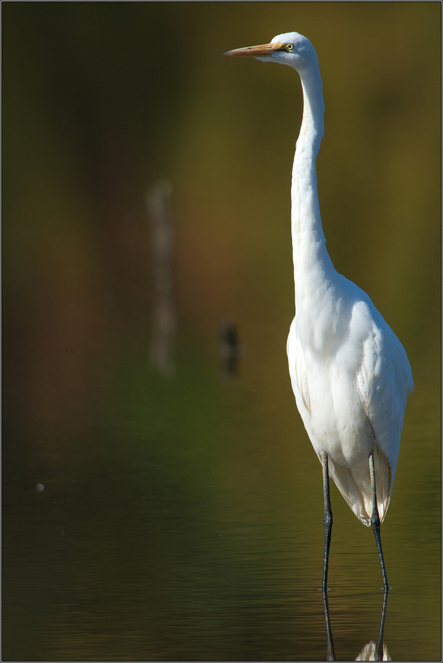 Great Egret  Fall foliage created an artsy feel for this pose.    Huntley Meadows