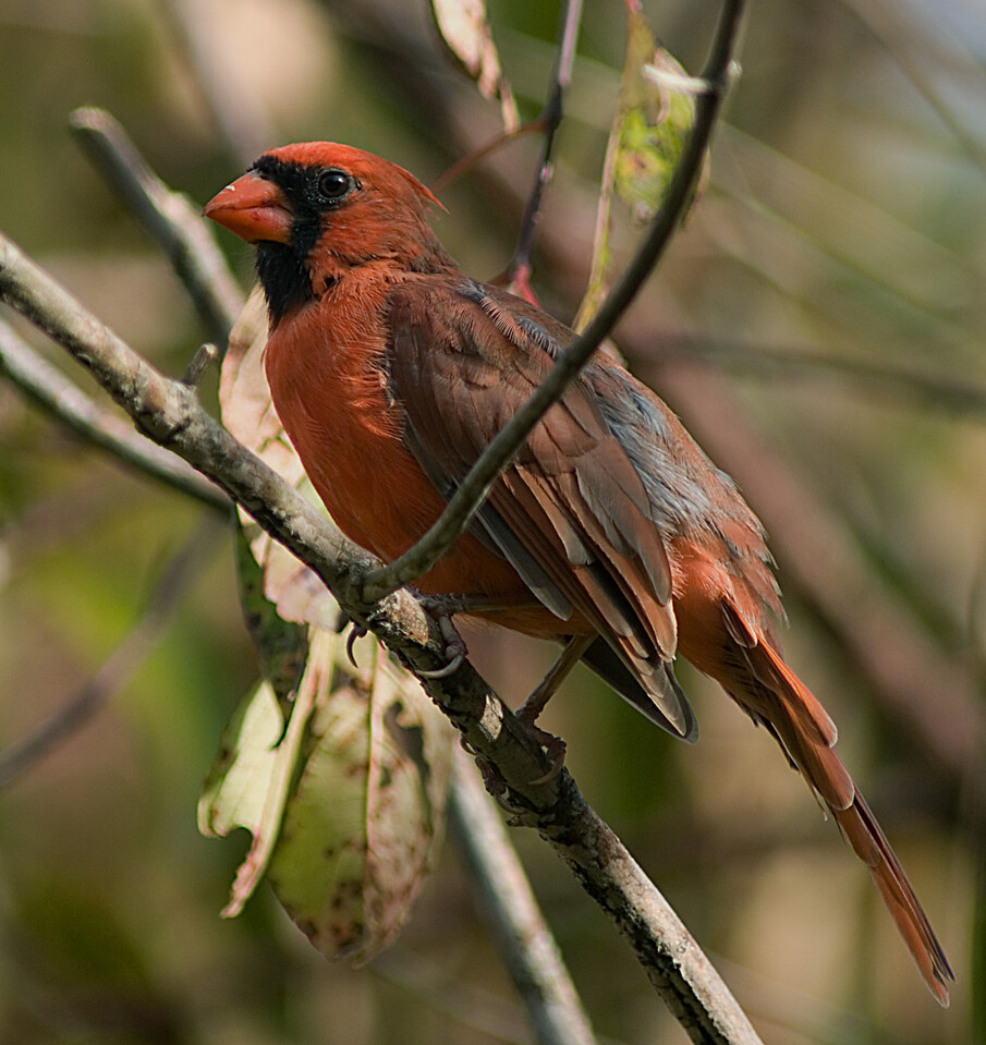 Male Northern Cardinal   October