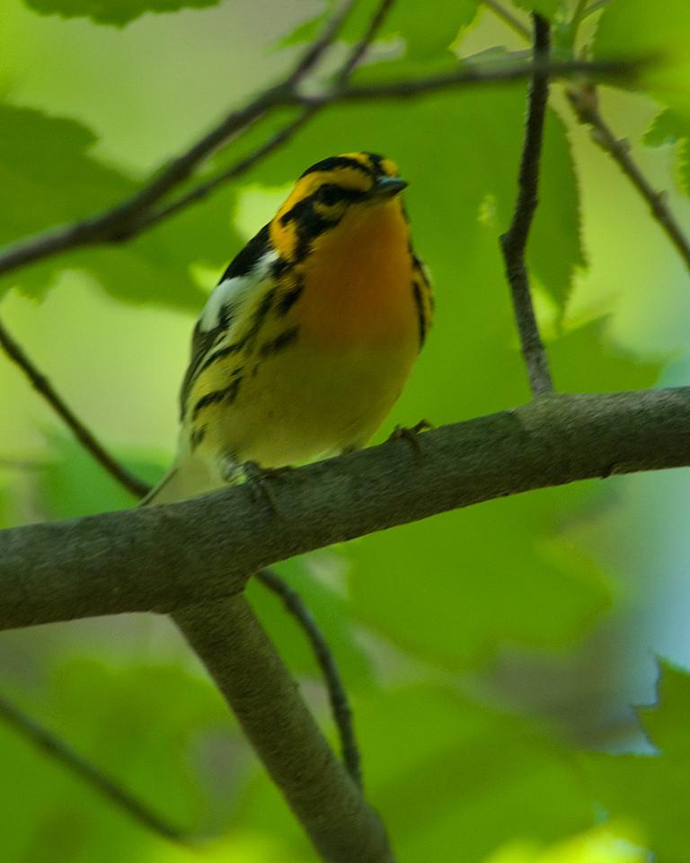 Blackburnian Warbler  Monticello Park in Alexandria, VA